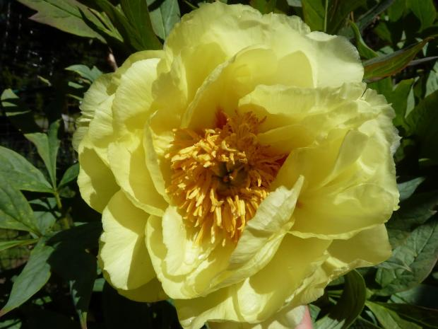 I Love Tree Peonies Mgabc
